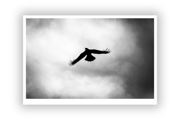 FineArt Print – Crows 1